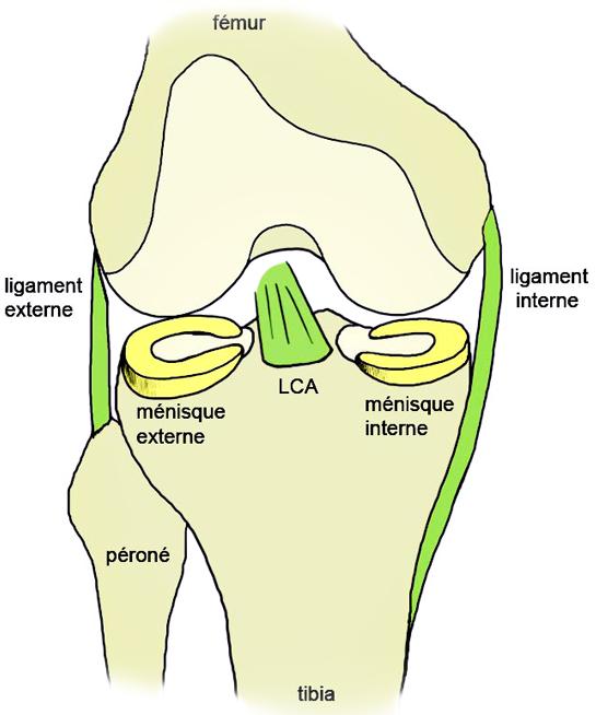 Anatomy - KNEE - Meniscus - Anatomy of the meniscus