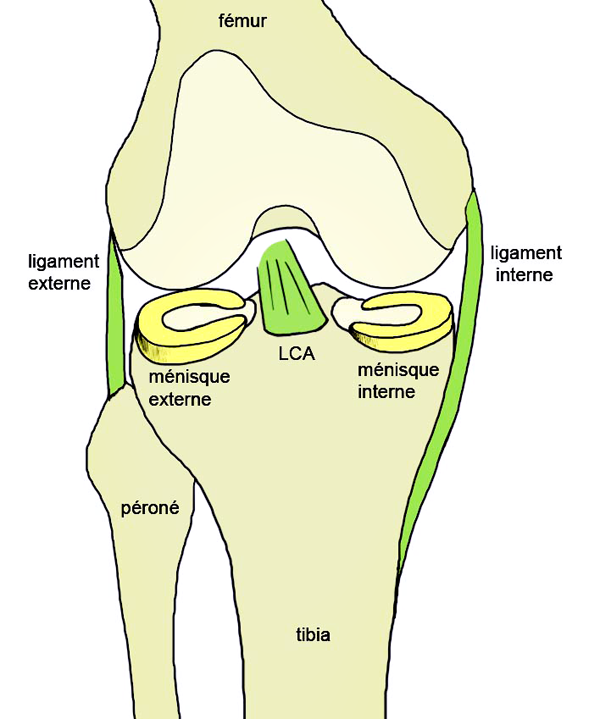 Knee Anatomy, anterior cruciate ligament, internal and external ligament, meniscus knee scheme.