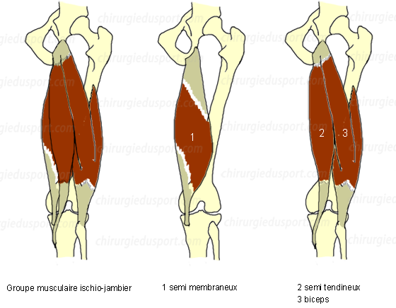 Anatomy Hip Tendon Anatomy Of The Muscle Group Hamstring 3